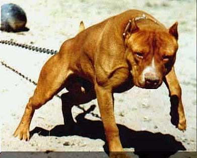 las mejores razas de perros de guardia